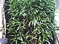 Bulbophyllum imbricatum - JBM.jpg