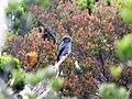 Burung Srigunting Kelabu, Pegunungan Mugajah, Aceh.jpg