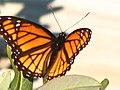 Butterfly (177865465).jpg