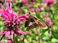 Butterfly Eating (695814031).jpg