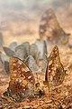 Butterfly in Kaeng Krachan National Park (2).jpg