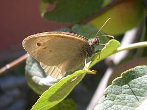 Butterfly on a leaf (Turkey).JPG