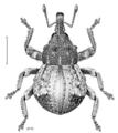 COLE Curculionidae Crooktacalles certus.png