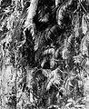 COLLECTIE TROPENMUSEUM Rotan in het oerwoud TMnr 10011487.jpg