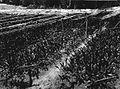 COLLECTIE TROPENMUSEUM Zeven maanden oude getah-pertja (guta perja) kweekbedden op een onderneming op Oost-Sumatra TMnr 60014143.jpg