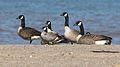 Cackling Geese (Branta hutchinsii) (3972181967).jpg