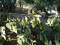 Cactaceae-rabbit ears-with-rabbit.jpg