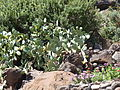Cactus, Alicudi, Islas Eolias, Sicilia, Italia, 2015.JPG