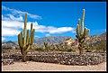 Cactus en Ruinas de Quilmes, Tucuman.jpg