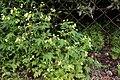 Calceolaria cf. mexicana (Calceolariaceae) (30159265350).jpg