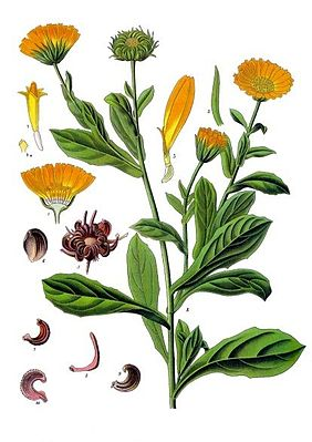 Ringelblume (Calendula officinalis), Illustration
