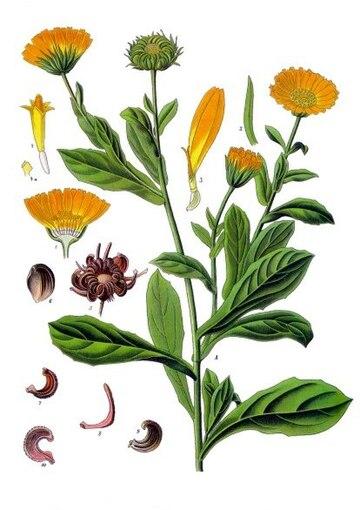 Plant Pot Marigold