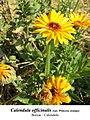 Calendula officinalis 2.1.jpg