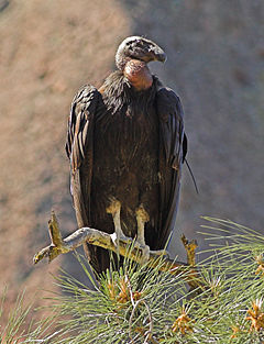 California Condor Pinnacles NM 1.jpg