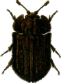 Calitys scabra Jacobson.png