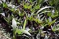 Callisia fragrans 5zz.jpg