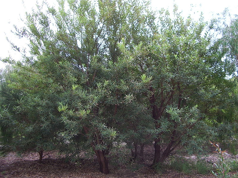 Callistachys lanceolata.jpg