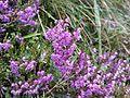 Calluna vulgaris (15154935468).jpg