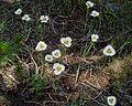 Calochortus leichtlinii - Flickr 023.jpg
