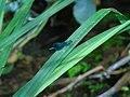 Calopteryx virgo.003 - Arteixo.jpg