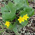 Caltha palustris SCA-01423.jpg