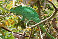 Calumma parsonii, Peyrieras reptile reserve 03.JPG