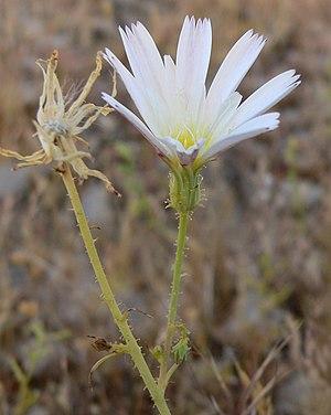 Calycoseris wrightii - Image: Calycoseris wrightii 1