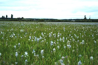 Weippe Prairie - Camas flower field, Weippe Prairie, Idaho