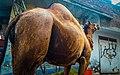Camel 20180816175536 11.jpg