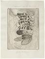 Camelus dromedarius - ingewanden - 1700-1880 - Print - Iconographia Zoologica - Special Collections University of Amsterdam - UBA01 IZ21600011.tif
