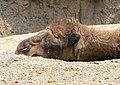 Camelus dromedarius head.jpg