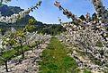Camp de cirerers florits a la Vall de Gallinera.JPG