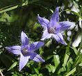 Campanula chamissonis (flower s4).JPG