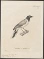 Campephaga lobata - 1700-1880 - Print - Iconographia Zoologica - Special Collections University of Amsterdam - UBA01 IZ16500379.tif