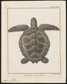 Caouana caretta - 1700-1880 - Print - Iconographia Zoologica - Special Collections University of Amsterdam - UBA01 IZ11600209.tif