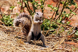 Cape ground squirrel (Xerus inauris) male 1.jpg
