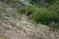 Capriolo nella boscaglia - panoramio.jpg