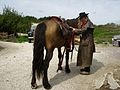 Captain Blueberry, along with horse Little brother. Having ridden from Sola to Brusand, year 2010.jpg