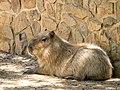 Capybara (19609144476).jpg