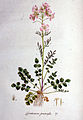 Cardamine pratensis — Flora Batava — Volume v1.jpg