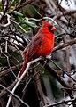 Cardinalis cardinalis -USA -male-8.jpg