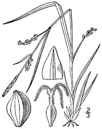 Carex digitalis BB-1913.png