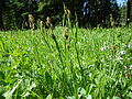 Carex raynoldsii (7509929982).jpg