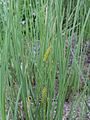 Carex rostrata Oulu, Finland 28.06.2013.jpg