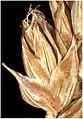 Carex spicata inflorescens (28).jpg