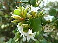 Carissa spinarum, f, Schanskop.jpg