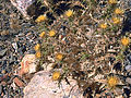 Carlina racemosa Habitus2 Tamaral SierraMadrona.jpg