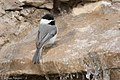 Carolina Chickadee South Llano River State Park Llano TX 2018-02-24 16-33-46 (25712378097).jpg