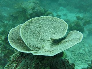 <i>Carteriospongia</i> genus of sponges