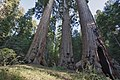 Case Mountain Giant Sequoias BLM 19.jpg